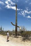 Uomo che esamina il grande cactus di Sagauro Fotografia Stock