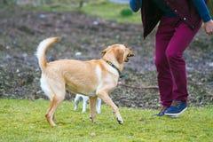 Uomo che gioca con il cane di Labrador fotografie stock libere da diritti