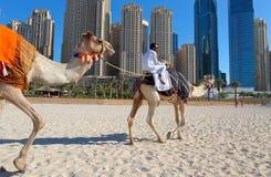 Uomo che guida un cammello sulla spiaggia Immagine Stock