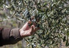 Uomo che ispeziona le foglie dell'oliva Immagini Stock Libere da Diritti