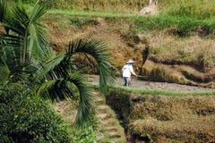 Uomo che lavora in una piantagione tradizionale del riso Immagini Stock Libere da Diritti