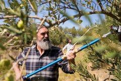 Uomo che per mezzo dello strumento verde oliva di raccolto mentre raccogliendo Fotografie Stock