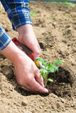 Uomo che pianta le piantine del pomodoro nella terra Fotografia Stock Libera da Diritti