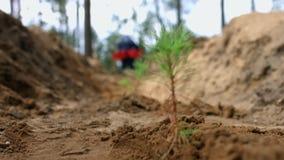 Uomo che pianta le piccole piantine del pino in terra Giovani germogli del pino in foresta stock footage