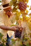 Uomo che raccoglie l'uva per vino Fotografia Stock Libera da Diritti