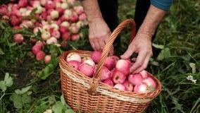 Uomo che raccoglie la merce nel carrello delle mele che sta sulla terra video d archivio