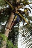 Uomo che raccoglie le noci di cocco Immagine Stock Libera da Diritti