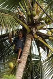 Uomo che raccoglie le noci di cocco Fotografia Stock Libera da Diritti