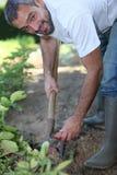 Uomo che scava una toppa di verdure Fotografia Stock