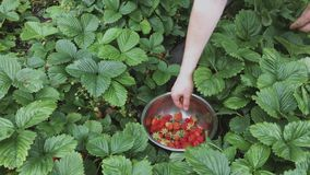 Uomo che seleziona le fragole mature in ciotola metallica durante il tempo di raccolto in giardino Fragola nel giardino della fru stock footage