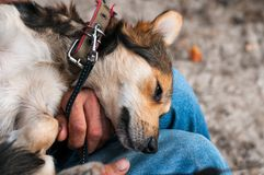 Uomo che sittting e che tiene cane marrone sveglio sulla parte posteriore sulle ginocchia in parco fotografie stock