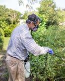 Uomo che spruzza le sue piante di pomodori infestate dagli insetti Fotografia Stock
