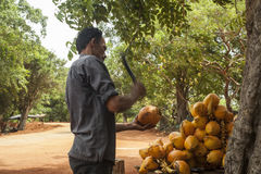 Uomo che taglia noce di cocco a pezzi Fotografia Stock