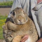 Uomo che tiene coniglio colorato marrone chiaro all'aperto Fotografia Stock Libera da Diritti