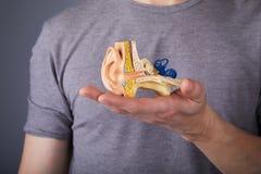 Uomo che tiene il modello dell'orecchio interno umano in mani fotografia stock