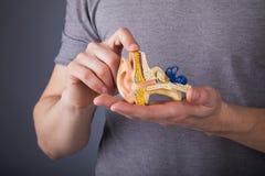 Uomo che tiene il modello dell'orecchio interno umano in mani immagine stock
