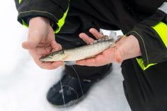 Uomo che tiene il piccolo pesce del luccio Pesca di inverno sul ghiaccio Rilassandosi nel selvaggio fotografia stock