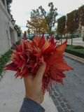 Uomo che tiene lasciare dell'acero rosso in autunno con fondo della città e del mare del cielo blu fotografia stock libera da diritti