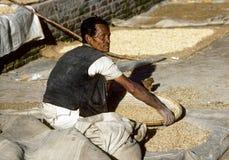 Uomo che treshing il cereale dopo il raccolto Fotografia Stock Libera da Diritti