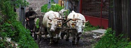 Uomo con i buoi che lavorano in un piccolo villaggio in Romania immagini stock