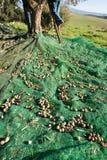 Uomo con la scala che raccoglie le olive sull'albero Fotografia Stock Libera da Diritti