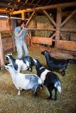 Uomo con le capre circa per giocare uno scherzo Immagine Stock