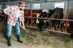 Uomo con le forcelle che alimentano le mucche fotografia stock