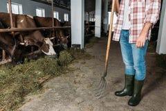 Uomo con le mucche d'alimentazione della forca Fotografia Stock Libera da Diritti