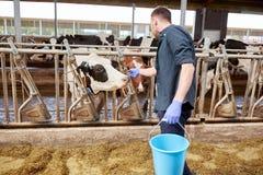 Uomo con le mucche ed il secchio in stalla sull'azienda lattiera Fotografie Stock