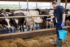Uomo con le mucche ed il secchio in stalla sull'azienda lattiera Immagini Stock Libere da Diritti