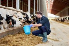 Uomo con le mucche ed il secchio in stalla sull'azienda lattiera Immagini Stock