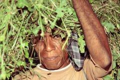 Uomo dalle piante di trasporto del Timor dopo la raccolta Fotografia Stock