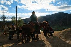 Uomo del bambino adulto del bestiame bovino di agricoltura di azione della Mongolia fotografia stock libera da diritti