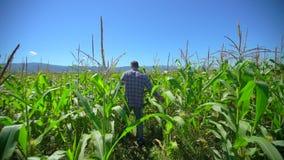 Uomo dell'agricoltore che cammina attraverso la piantagione di cereale Mani maschii dell'agricoltore che controllano e che ispezi archivi video