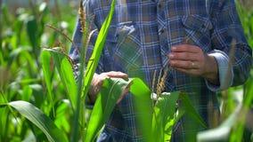 Uomo dell'agricoltore nel campo di grano Mani maschii dell'agricoltore che controllano e che ispezionano qualità delle piante di  stock footage