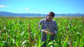 Uomo dell'agricoltore nel campo di grano Mani maschii dell'agricoltore che controllano e che ispezionano qualità delle piante di  archivi video