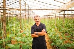 Uomo di medio evo con le verdure attraversate dei cetrioli delle mani in una serra agricoltura Fotografia Stock