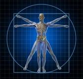Uomo di scheletro umano di Vitruvian Fotografie Stock Libere da Diritti