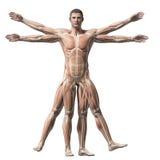 Uomo di Vitruvian - sistema di muscolo Immagine Stock Libera da Diritti