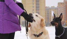 Uomo e cani Fotografia Stock Libera da Diritti