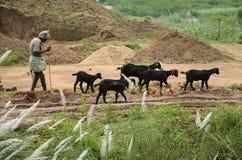 Uomo e capre sul campo Immagine Stock Libera da Diritti