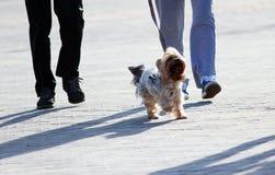 uomo e donna che camminano con il cane dell'Yorkshire terrier su un guinzaglio il quadrato immagine stock libera da diritti