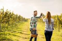Uomo e lavoratrici agricole che raccolgono l'uva in una vigna Fotografia Stock Libera da Diritti
