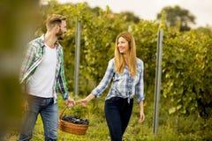 Uomo e lavoratrici agricole che raccolgono l'uva in una vigna Fotografia Stock