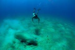 Uomo e manatee naviganti usando una presa d'aria Immagini Stock