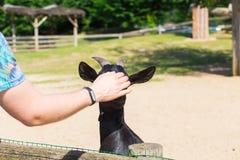 Uomo ed agnello o capra nell'azienda agricola Fotografia Stock