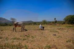 Uomo indiano dell'agricoltore con i suoi tori Fotografia Stock