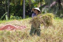 Uomo indonesiano dell'agricoltore che vaglia riso nei campi di Ubud, Bali, Indonesia Una pratica comune fatta in Cina rurale, Vie Fotografie Stock