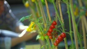 Uomo maschio dell'agricoltore che controlla e che ispeziona qualità delle piante dei pomodori organici nel campo del giardino Rac video d archivio