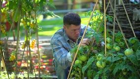 Uomo maschio dell'agricoltore che controlla e che ispeziona qualità delle piante dei pomodori organici nel campo del giardino Rac archivi video